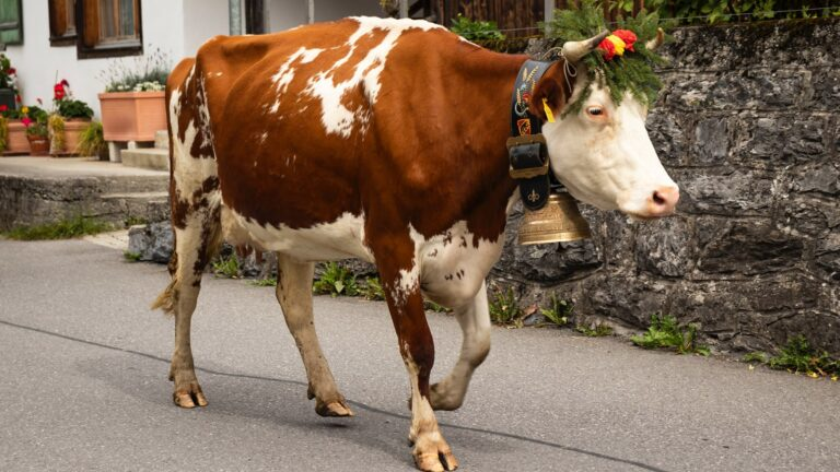Das Schweizer Nationaltier, die Kuh
